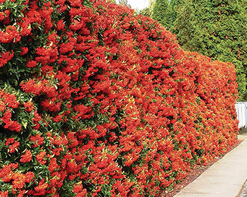 The Seven Fastest  Head-High Hedge Plants