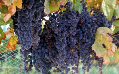 Now is the time to savor the Verde Valley wine crush